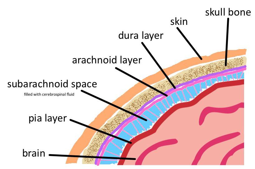 brain tissue layers - photo #19