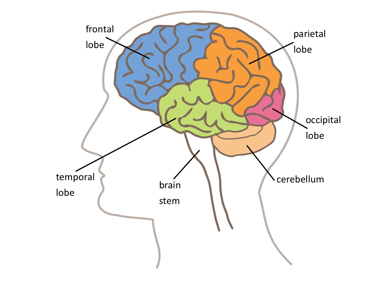 The Brain – Parts of the Brain Worksheet