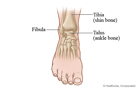 Bones Of The Ankle Joint Front View