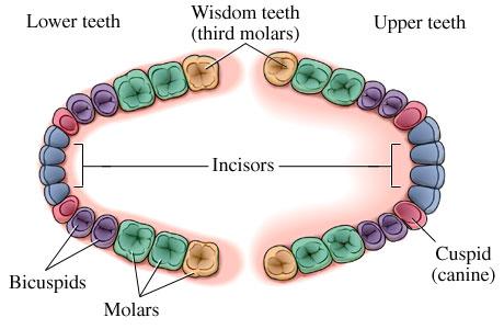 Wisdom Teeth Third Molars