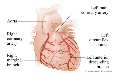 The heart and the coronary arteries