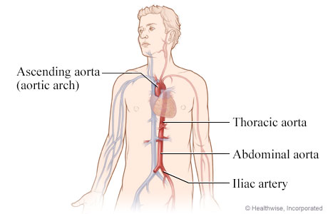 Anatomy of the aorta