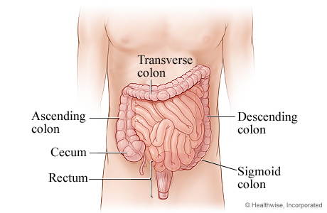 Digestive System Sigmoid Colon Diagram Electrical Work Wiring