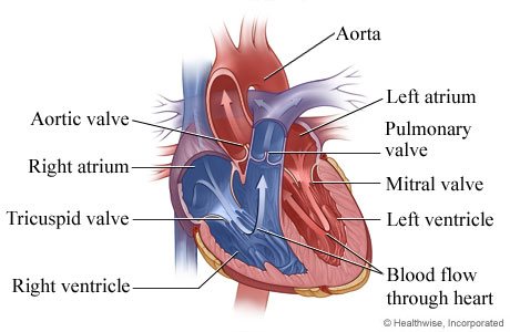 How the heart works topic overview picture of heart anatomy chambers and valves your heart has four separate chambers that pump blood ccuart Choice Image