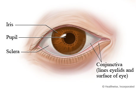 Eye Structures (Front and Side Views)