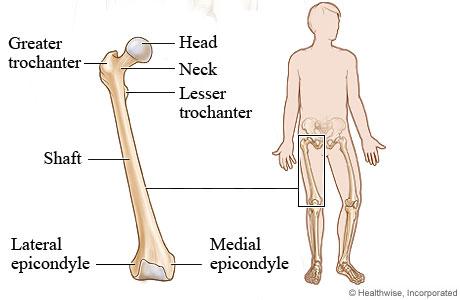 femur (thigh bone), Human Body
