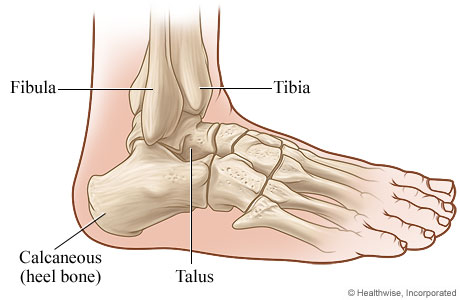 Bones Of The Ankle Joint Side View
