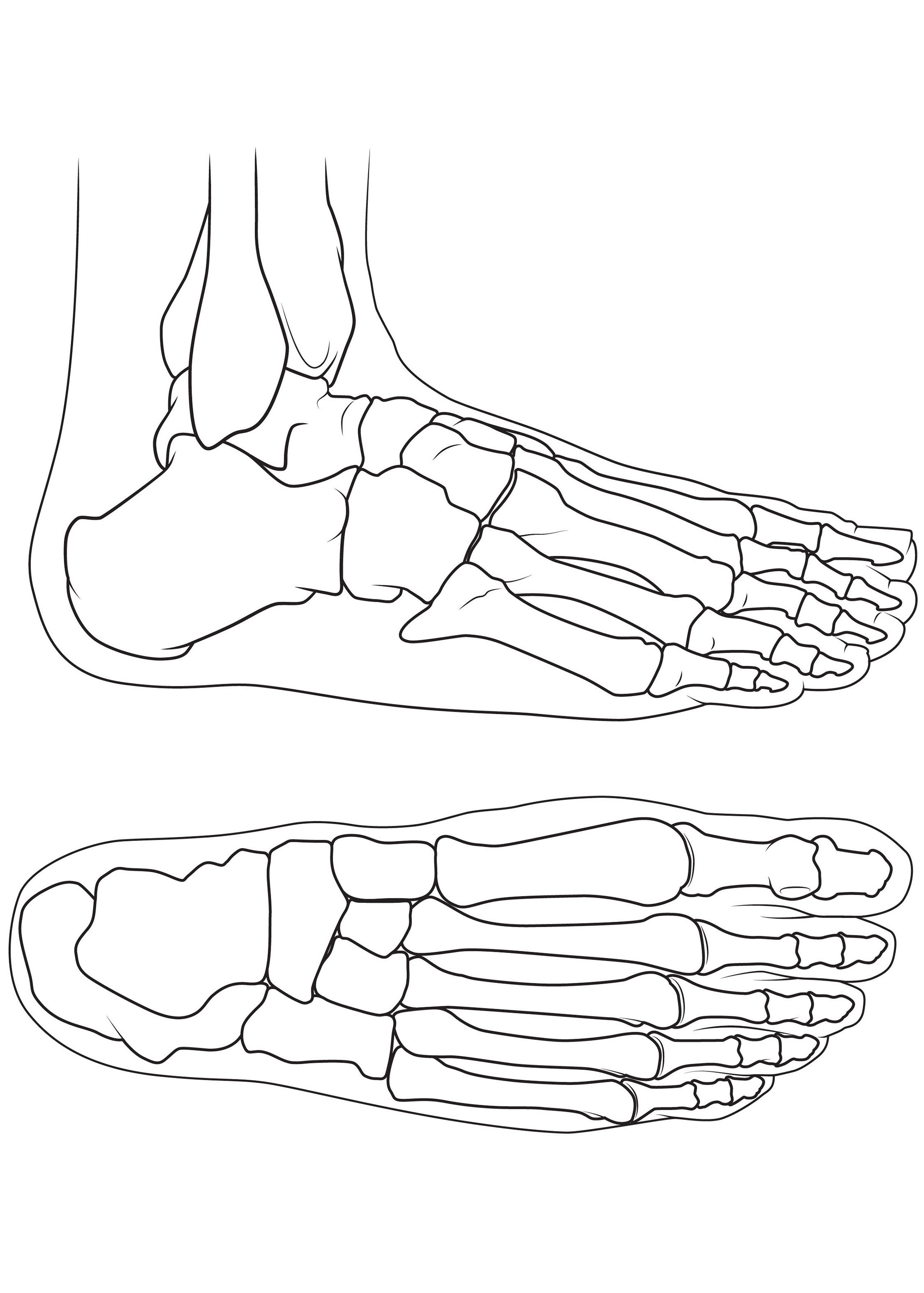 Bones Of The Foot Anatomy Sketch