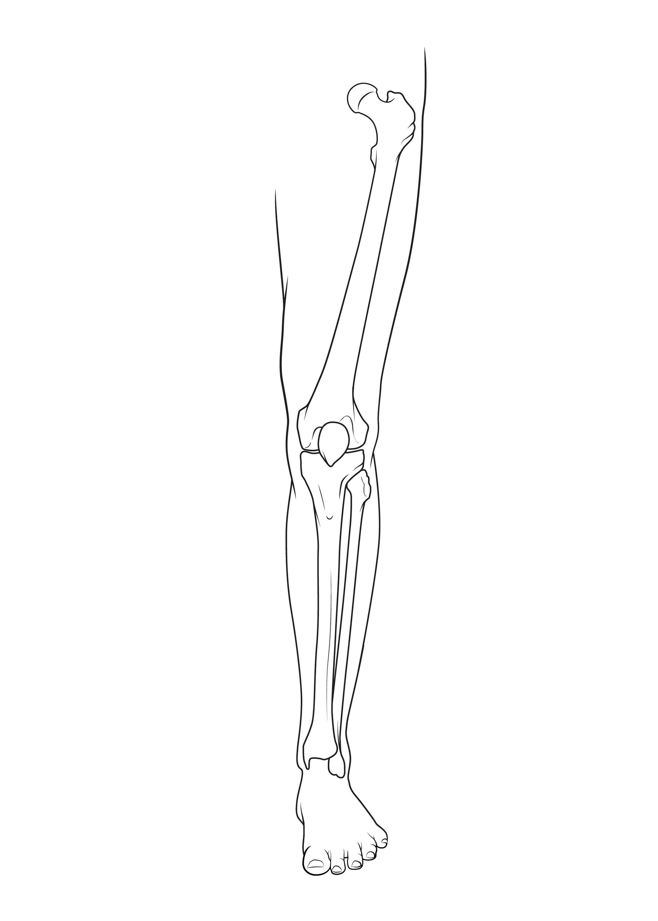 Bones Of The Leg Anatomy Sketch