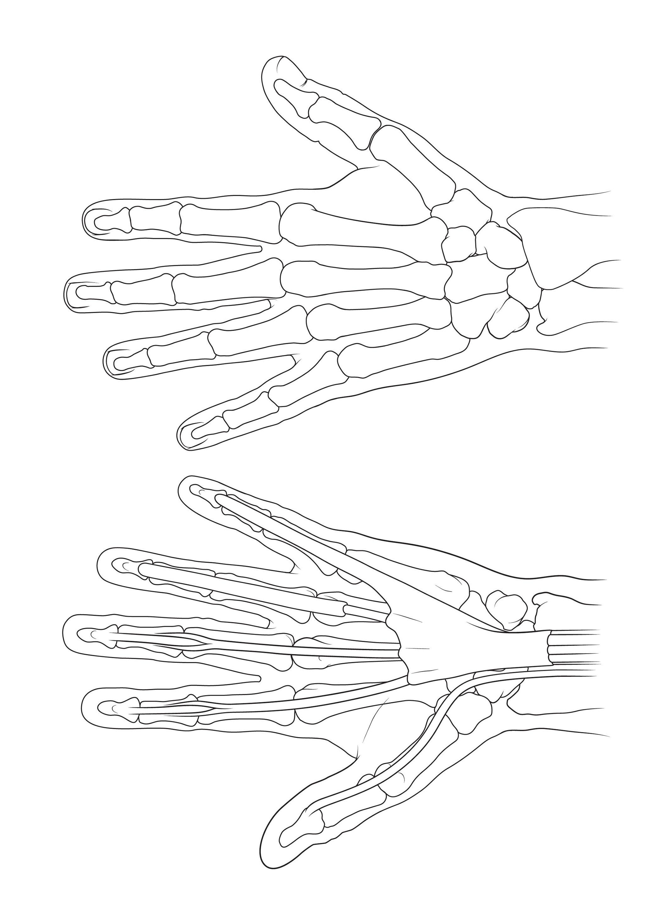 Bones Of The Hand Anatomy Sketch