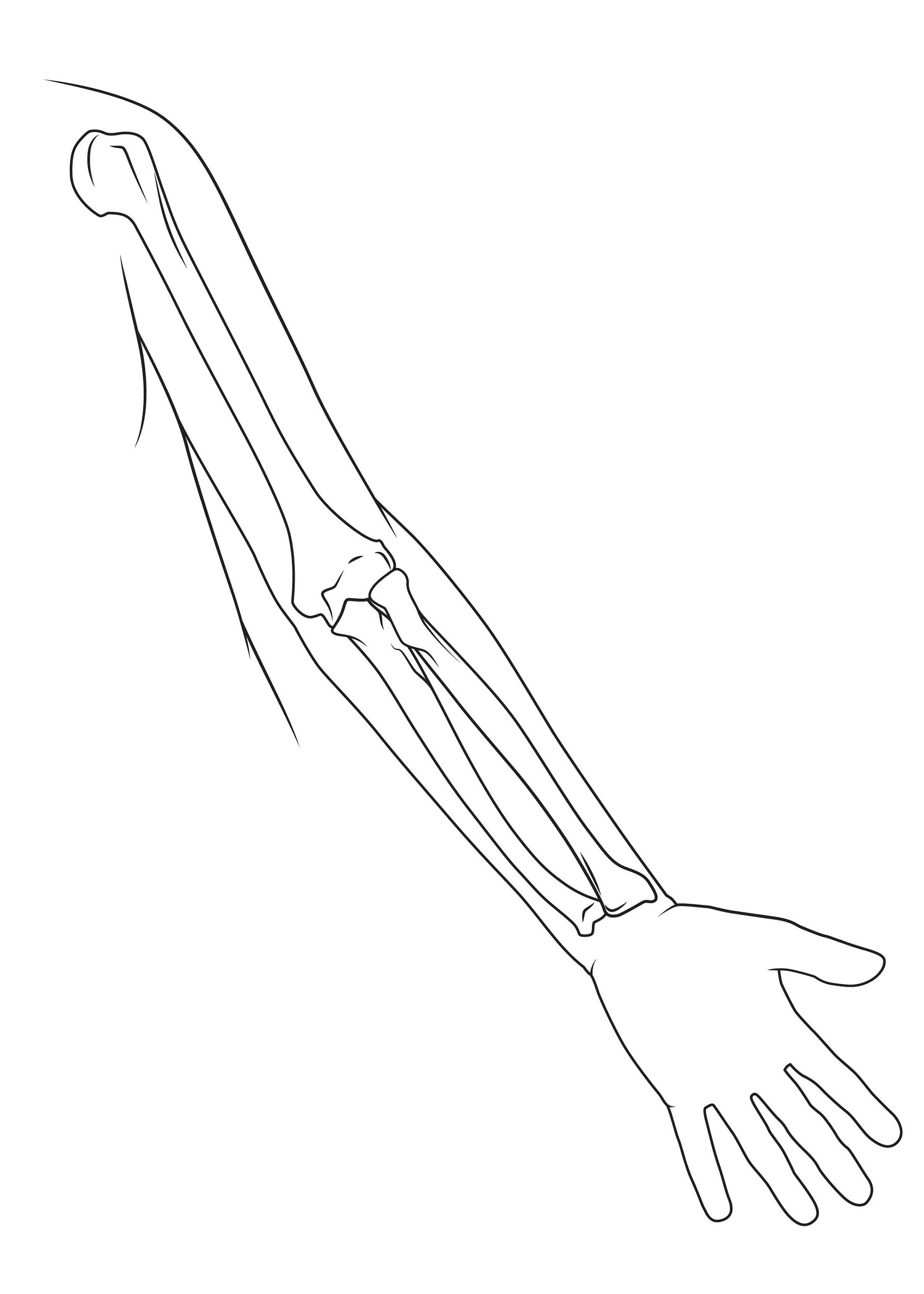 Bones Of The Arm Anatomy Sketch