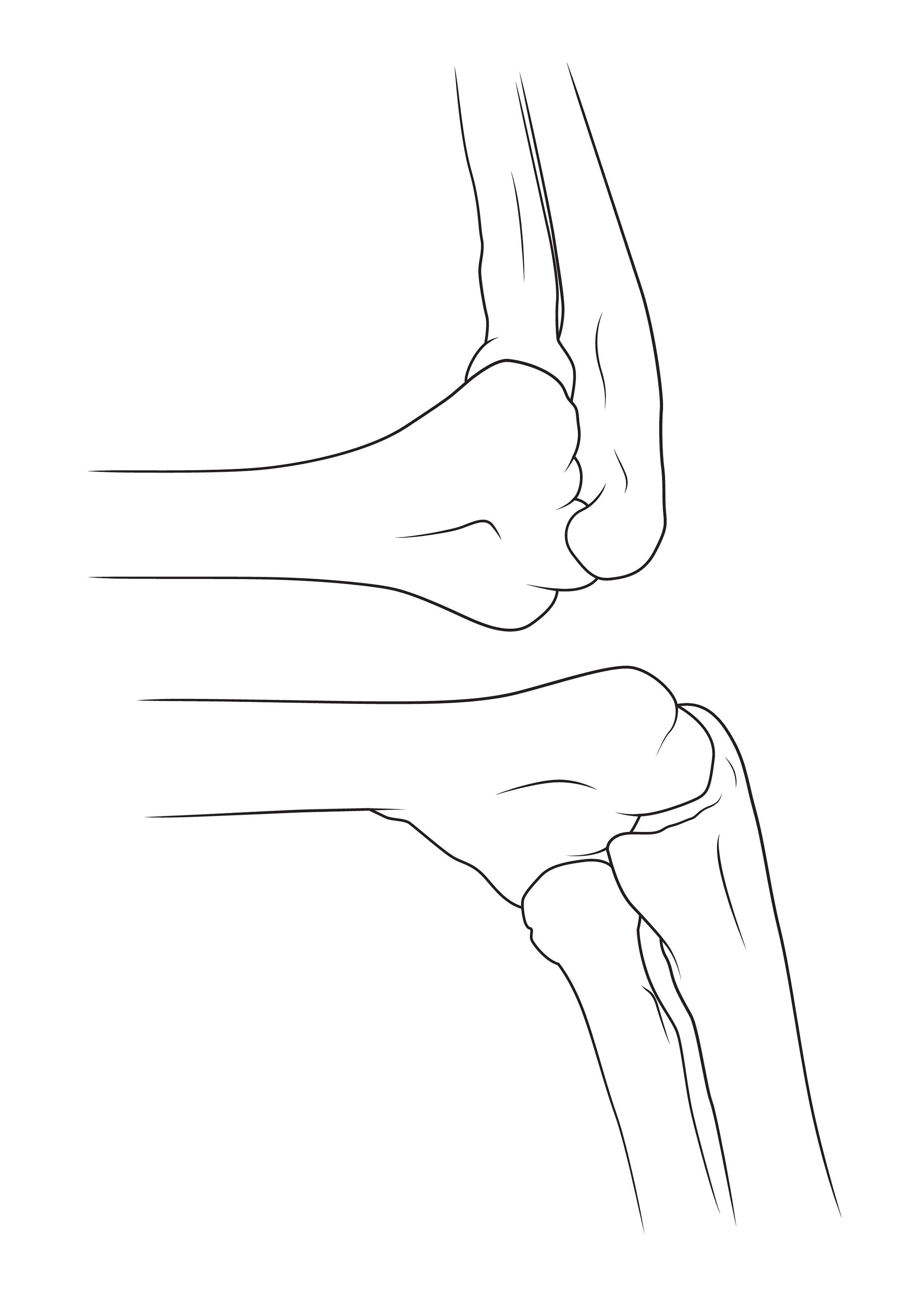 The Elbow And Attached Bones Anatomy Sketch