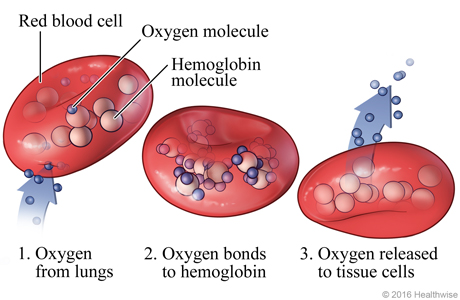 an overview of the importance of hemoglobin in carrying oxygene Hemoglobin (or haemoglobin, frequently abbreviated as hb), which is contained in red blood cells, serves as the oxygen carrier in blood the name hemoglobin comes from heme and globin, since each subunit of hemoglobin is a globular protein with an embedded heme (or haem) group.