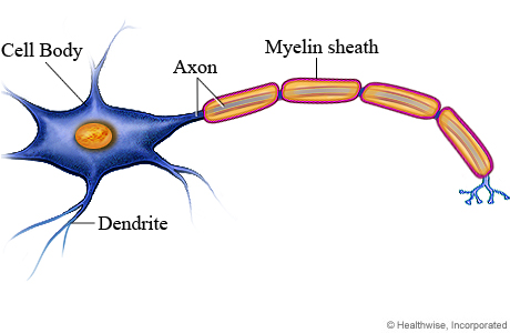 Image result for mylene sheath neuron