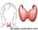 The thyroid gland and where it is in the body