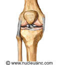 Bones and ligaments of the knee
