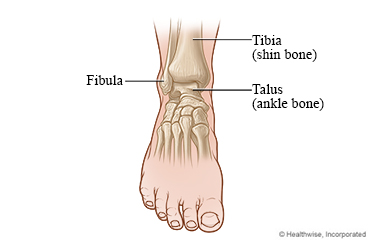 Front view of the bones of the ankle