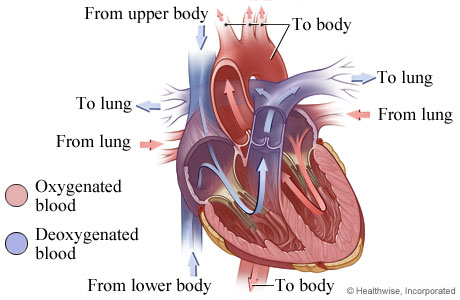 How the heart works topic overview picture of heart anatomy blood flow ccuart Image collections