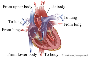 Picture of the heart and how blood flows through it