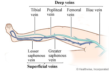 Veins of the leg