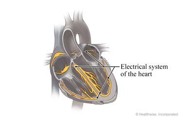 Cross section of the heart, showing its electrical system