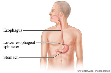 The esophagus and stomach