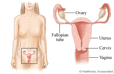 Picture of female pelvic organs