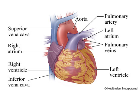 the two upper chambers of the heart the receivers are called