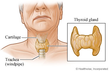 Picture of a thyroid gland