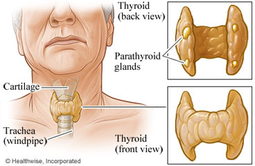 Front and back views of thyroid