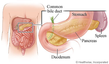 The pancreas and other digestive organs