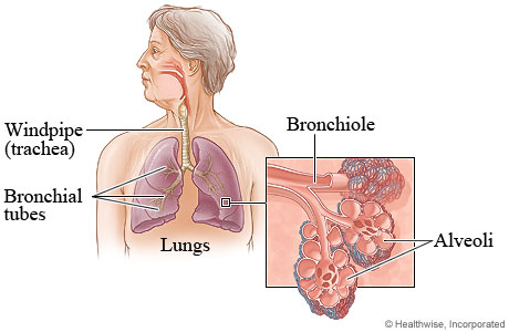 Airways Inside The Lungs