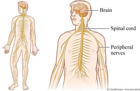 Nervous system, including the peripheral nerves