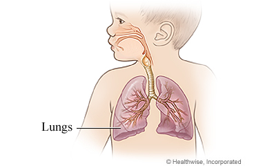 Lungs of a child