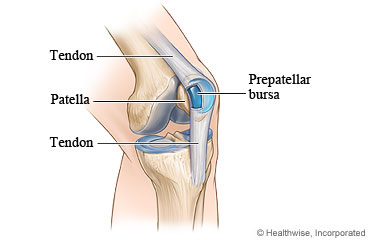A healthy bursa and the tendons of the knee