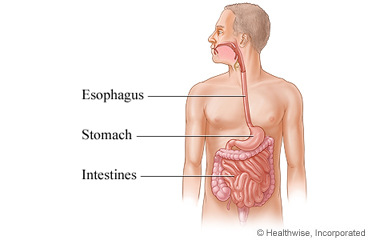 Esophagus, stomach, and intestines