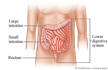 Picture of lower digestive system
