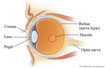 Side view of the eye, showing the macula area of the retina