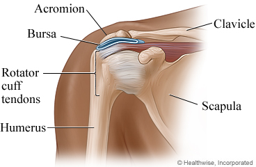 Parts of the shoulder