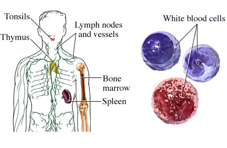 two functions of the lymphatic system